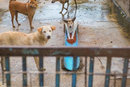 Stickers pour portes Panda Thai dog in the garden