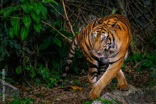 Photo sur Toile Tigre The Siberian tiger (Panthera tigris tigris) also called Amur tiger