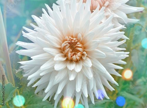 Poster Dahlia Dahlia cactus flower in the garden