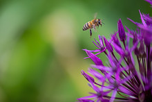 Bee Flies On A Cultivated Allium
