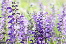 Close Up Of Spontaneous Spring Purple And Violet Wild Lupine Flowers In A Colorful Rural Field . Nature Background, Soft Focus And Blur