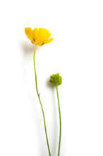 Closeup Of Yellow Wild Flowers On White Background  -  Ranunculus Repens