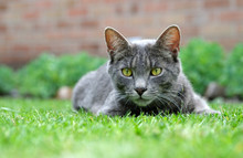 Grey Domestic Tabby Cat Image
