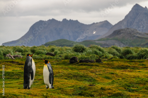 Three King Penguins -Aptenodytes patagonicus- engaging in a courtship ritual on Canvas Print