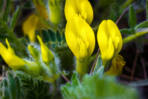 The closeup view of yellow flower of the dwarf shrub Astragalus exscapus Canvas Print