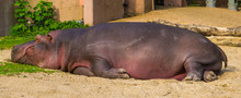 Closeup Of A Common Hippo Slee...