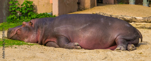 closeup of a common hippo sleeping, semi aquatic mammal from Africa, Vulnerable Poster Mural XXL
