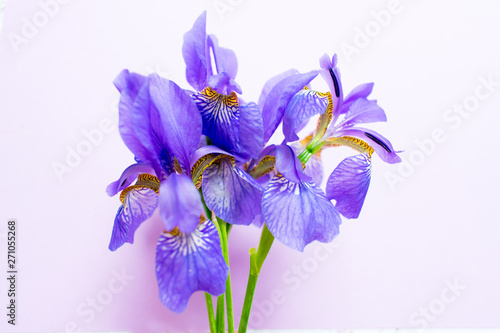 Bouquet of blue iris flowers on a gentle purple background.