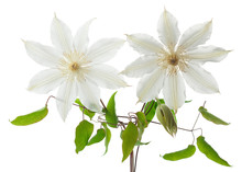 Two Clematis With Leaves Isolated On White Background.