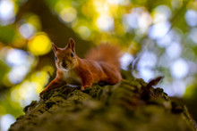 Red Squirrel On A Tree, With A...