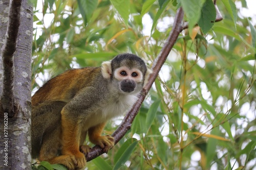 Foto op Aluminium Aap Squirrel monkey climbing