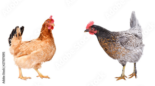 Fotografie, Tablou Two curious chicken standing together isolated on white background