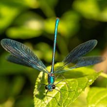 Calopteryx Splendens Dragonfly Metal Dark Blue Is Sitting On A Green Leaf
