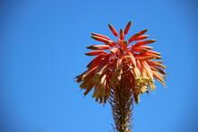 Bloooming Red Pink Aloe Vera F...