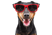 Funny Dog Breed Jagdterrier In A Red Sunglasses Isolated On White Background