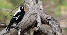 Australian Magpie, Cracticus T...