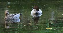 Australian Wood Duck, Chenonet...