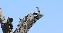 White-faced Heron, Egretta Nov...