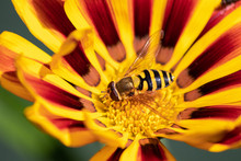 Hoverfly Sat On A Gazania Flower