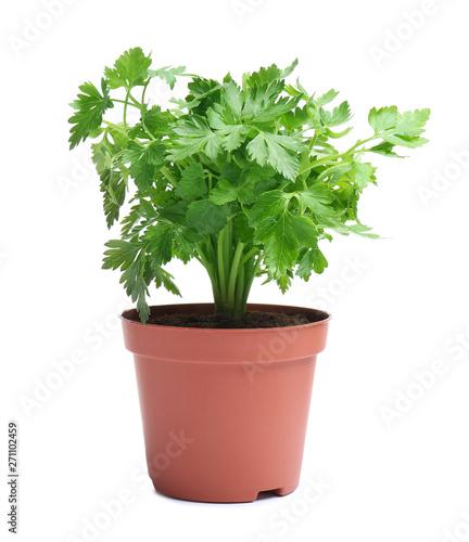 Fotografia Fresh green organic parsley in pot on white background