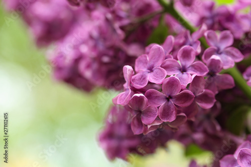 Foto op Canvas Hydrangea Beautiful blossoming lilac flowers on blurred background, closeup. Space for text