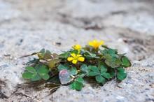 Oxalis Corniculata Var. Repens Growing Between Paving Stones In Sunlight