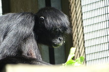 Spider Monkey Feeding At The Zoo