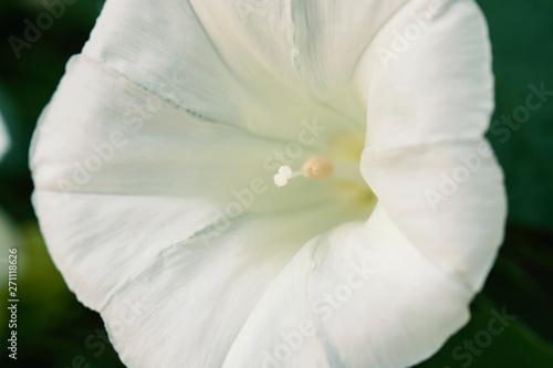Fotografie, Tablou  Close up white beach moonflower