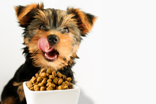 Yorkshire Puppy Eating A Tasty Dog Food. Happy Smiling Dog With Long Tongue, Licking For Yummy Food.