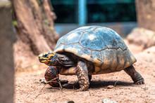 Red-legged Tortoise Walking On Sand In Brazil
