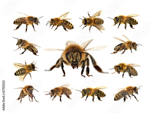 Tuinposter Bee bee or honeybee isolated on the white background