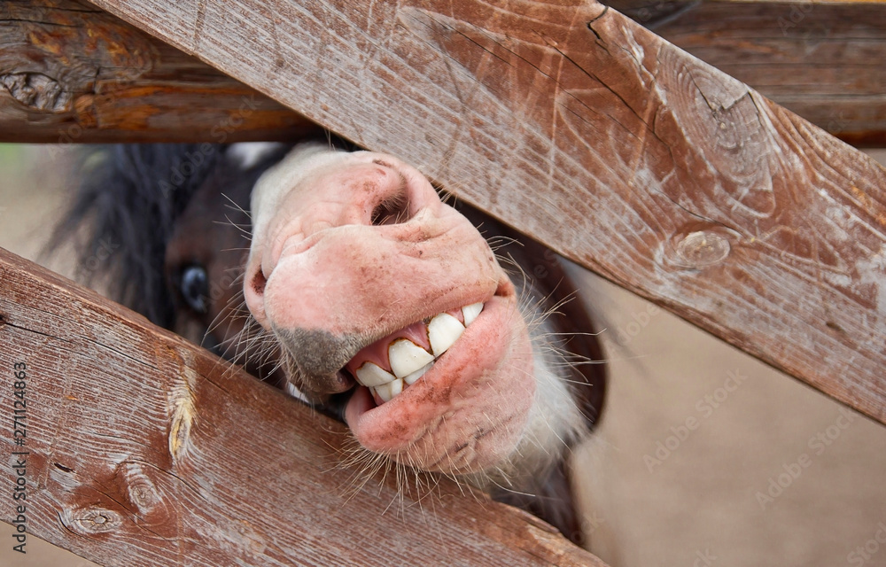Fotografie, Obraz pony mouth with teeth. a pony looks out from behind a fence