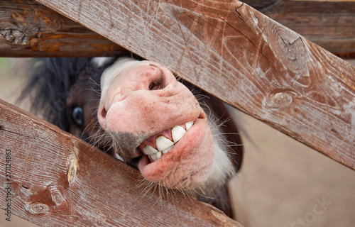 Fototapeta pony mouth with teeth. a pony looks out from behind a fence