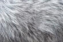 Fluffy Silver Fox Fur Background. Texture Of Gray Fur Closeup Photo