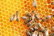 Leinwandbild Motiv arbeitende Bienen beim Honigsammeln