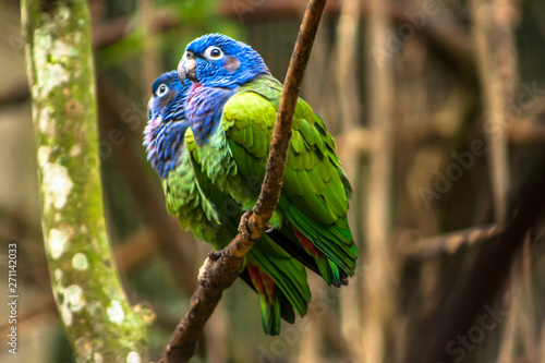 Cuadros en Lienzo Blue-headed Parrot (Pionus menstruus) in Brazil