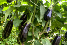Eggplant In The Garden. Fresh ...