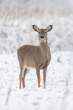 Doe In Snow