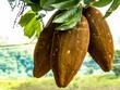 canvas print picture - Exotic fruit Monguba (pachira aquatica) in Brazil