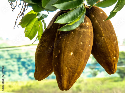 Exotic fruit Monguba (pachira aquatica) in Brazil Fotobehang