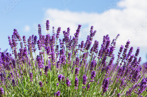 Soft focus on lavender flower, beautiful lavender flower #271152057