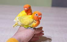 Sun Parakeets Couple Sitting O...