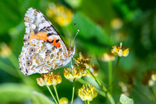 Painted Lady Butterfly (Vanessa Cardui) Feeds On A Nectar Of Flowers Of Linden Tree