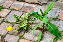Weed Control In The City. Dandelion And Thistle On The Sidewalk Between The Paving Bricks
