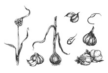 Stages Of Garlic Plant Sprouting