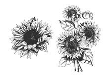 Isolated Hand Drawn Sunflowers Set