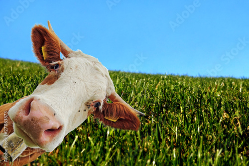 Leinwand Poster Ein neugierige Kuh. Neugieriges Simmentaler Rind