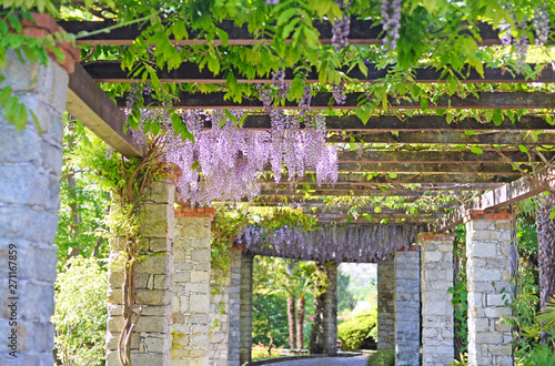 Fotomural beautiful mature wisteria in full bloom growing over a grand solid brick and wooden pergola in may