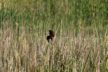 Red Winged Black Bird Landed On Grass Reed