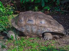 Closeup Giant Tortoise Sleeping On Green Grass In Taipei Zoo, Taiwan.